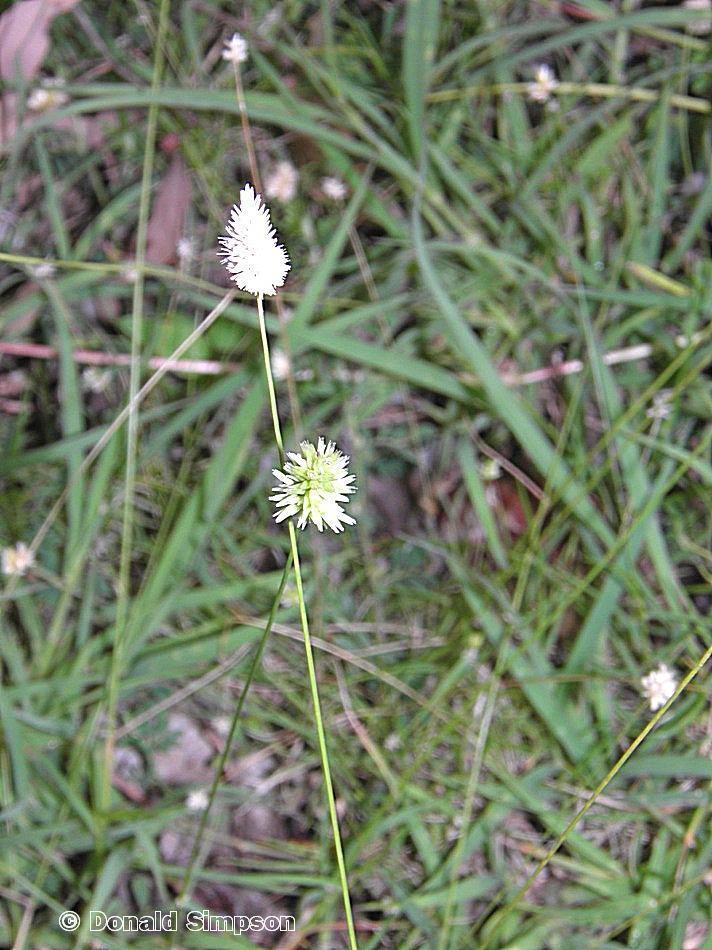Enneapogon lindleyanus