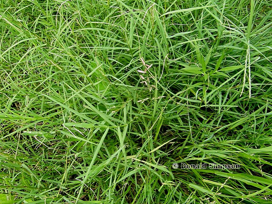 Eragrostis cumingii