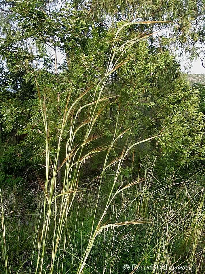 Heteropogon triticeus