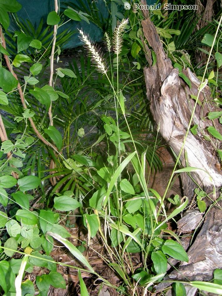 Setaria australiensis