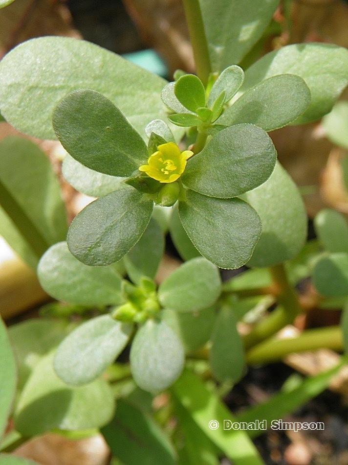 Portulacaceae
