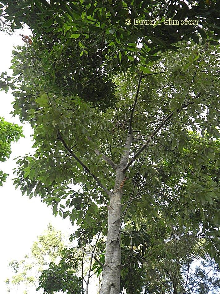 Alphitonia petriei