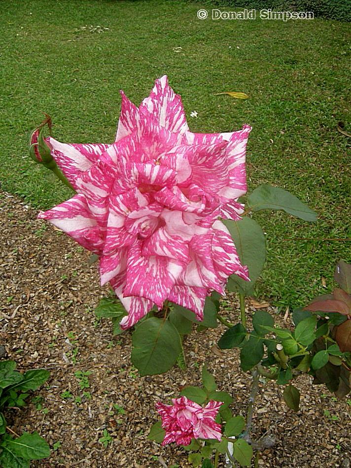 Rosa Hybrid Tea