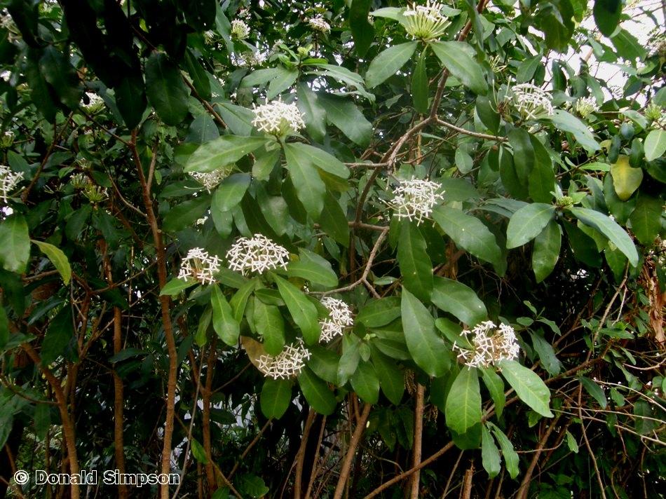 Ixora timorensis