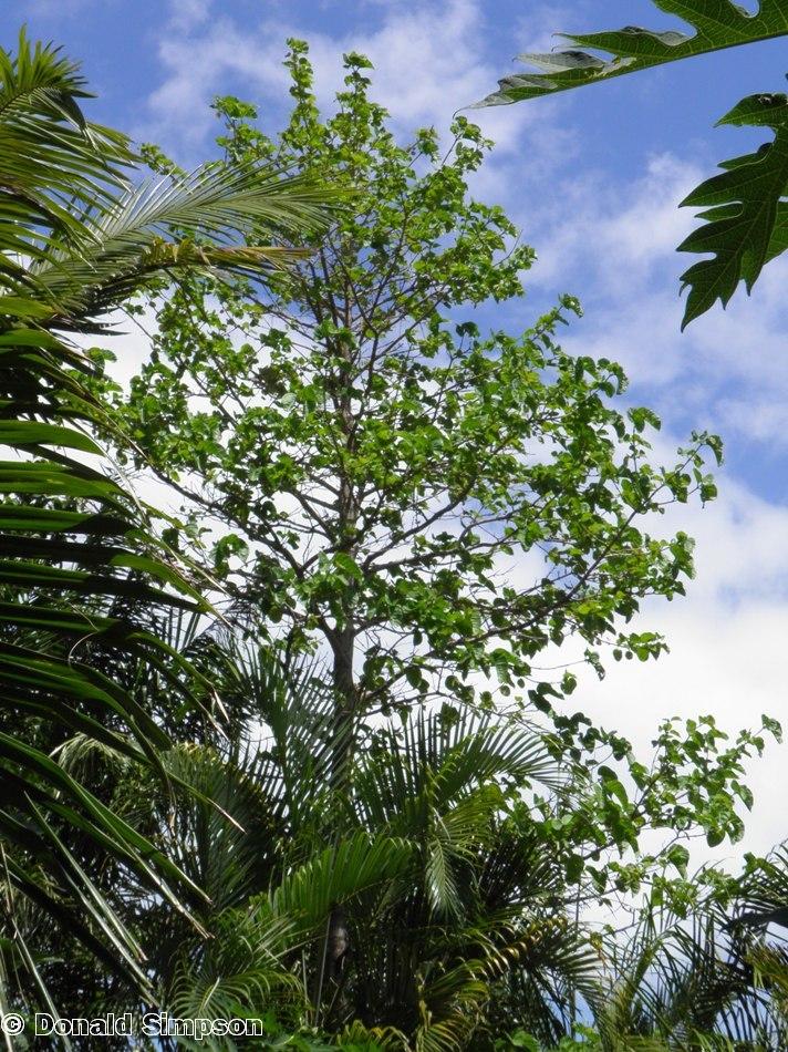Nauclea orientalis