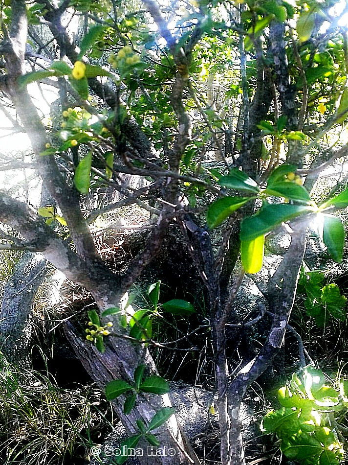 Psychotria fitzalanii