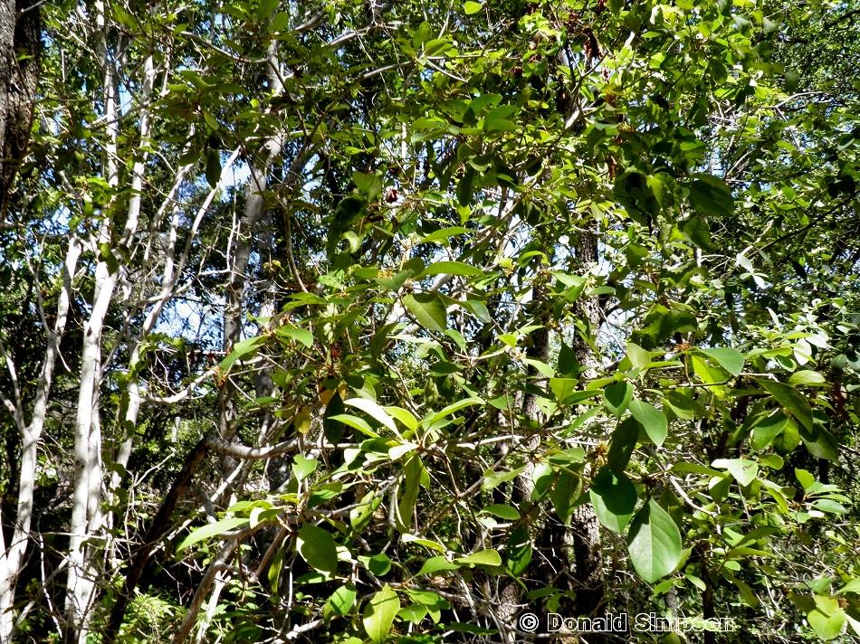 Psychotria poliostemma