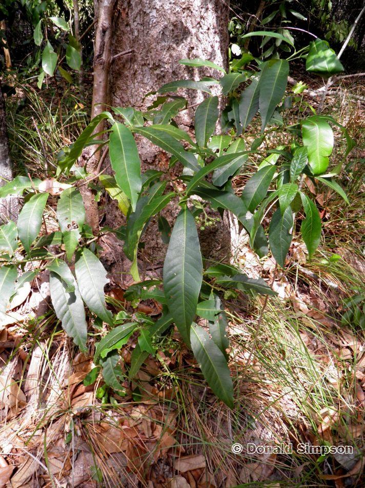 Psydrax odorata f. foveolata