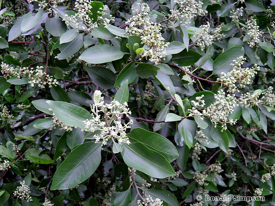 Geijera salicifolia var. latifolia