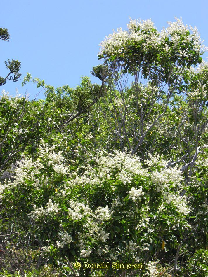 Atalaya multiflora