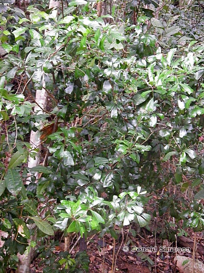 Cupaniopsis wadsworthii