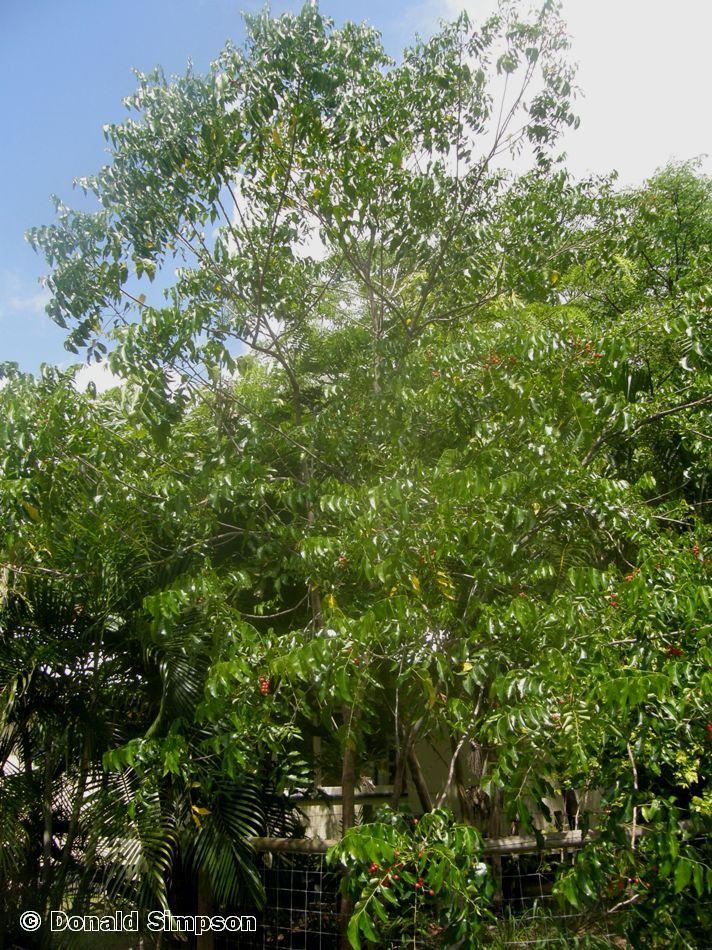 Ganophyllum falcatum