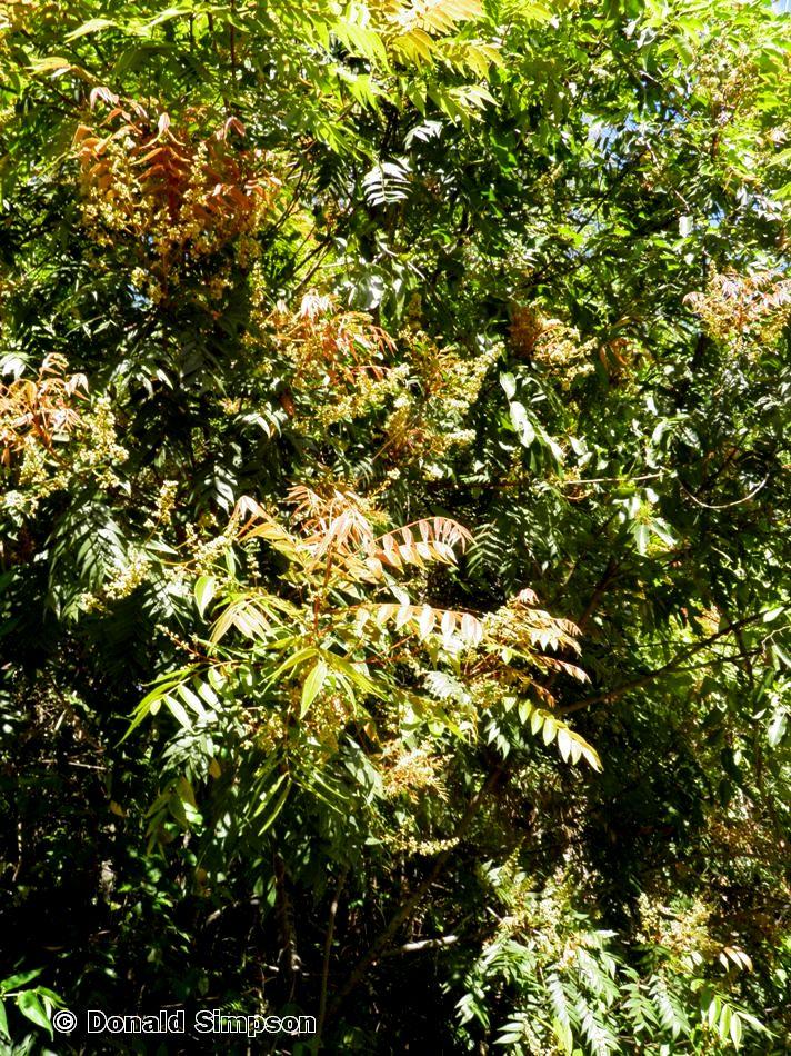 Jagera pseudorhus var. pseudorhus