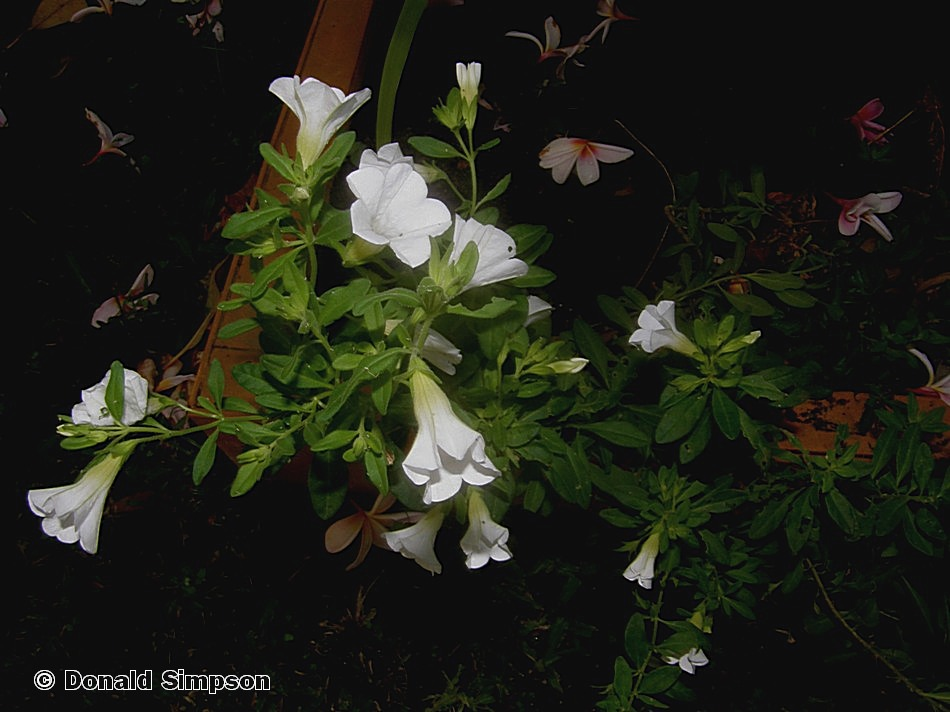 Calibrachoa 'White Chimes'