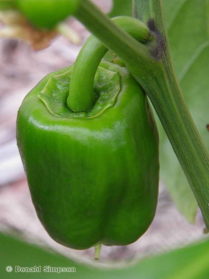 Capsicum annuum Bell Pepper Group