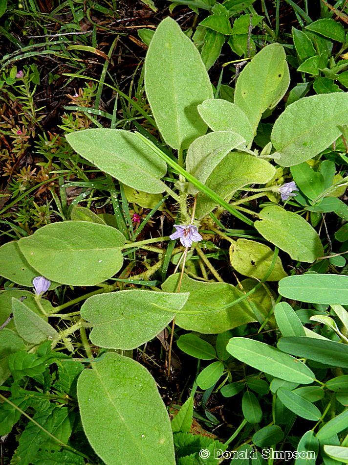 Solanum ellipticum