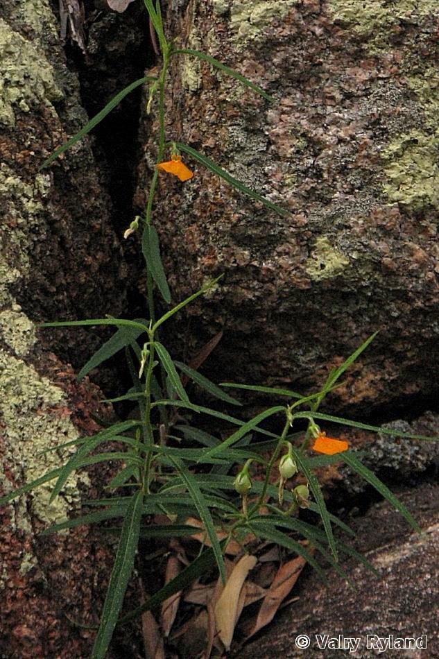 Hybanthus stellaroides