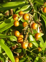 dracaena reflexa fruits