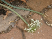 shallot in flower