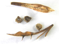 asystasia gangetica pods and seeds