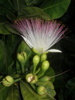 barringtonia asiatica buds & flower