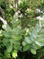 calotropis gigantea leaves