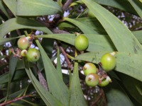 persoonia falcata fruits