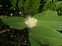 syzygium_aqueum leaves & flower