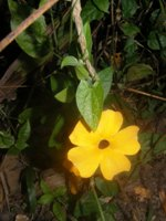 thunbergia alata flower & leaves, twining stem