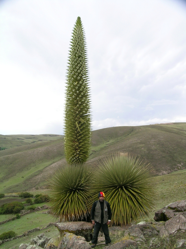 Bromeliaceae