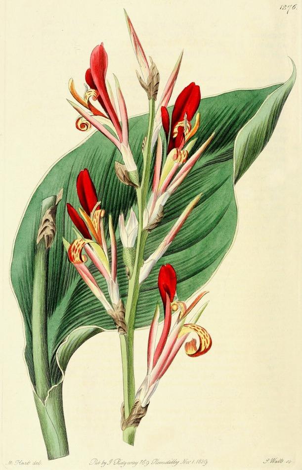 Cannaceae