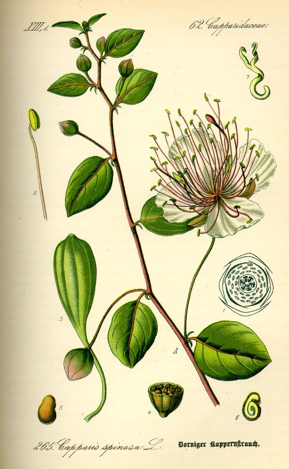 Capparaceae