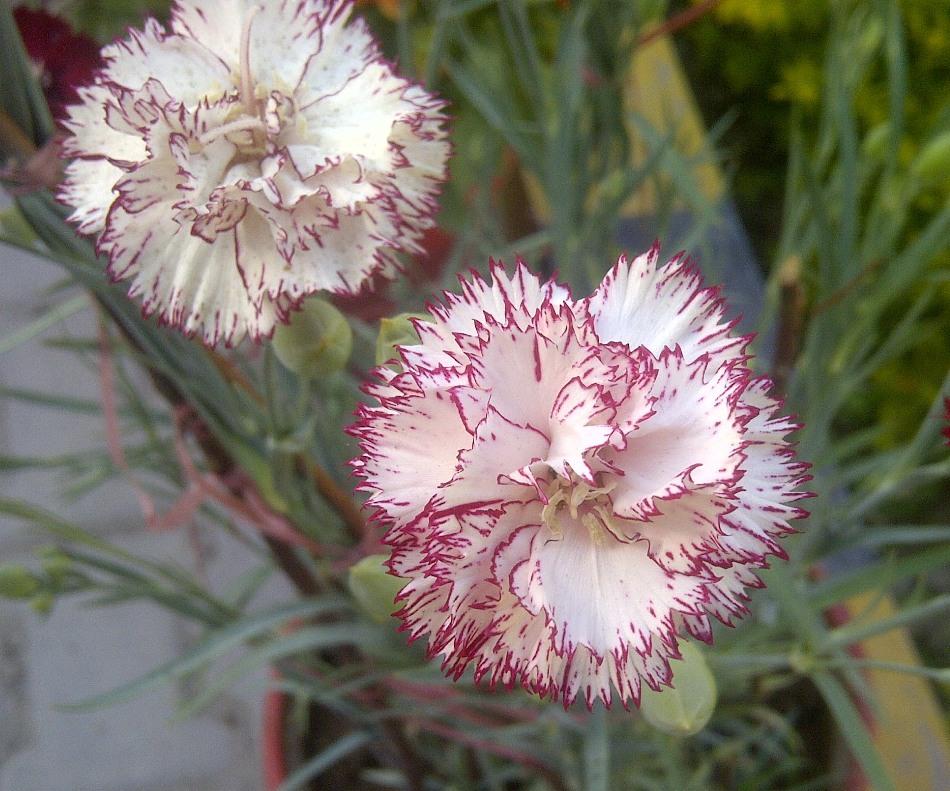 carnation family