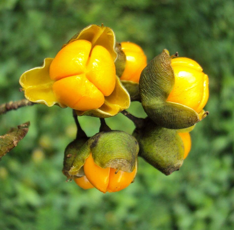 Celastaceae