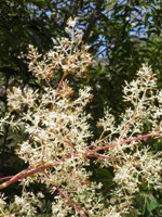 fraxinus griffithii flowering