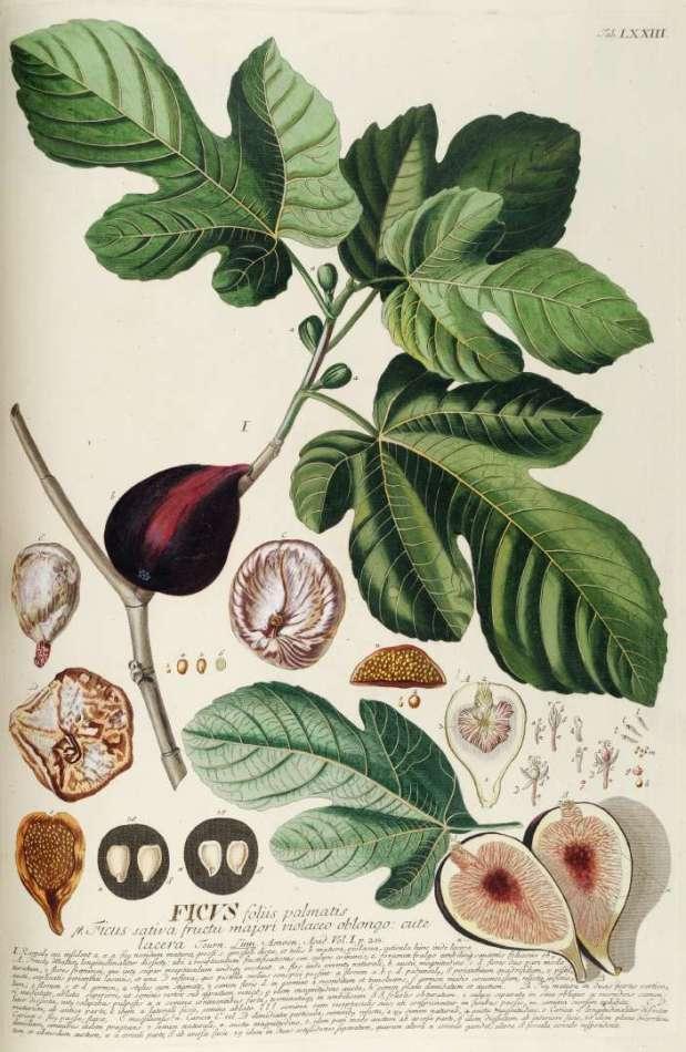 Moraceae