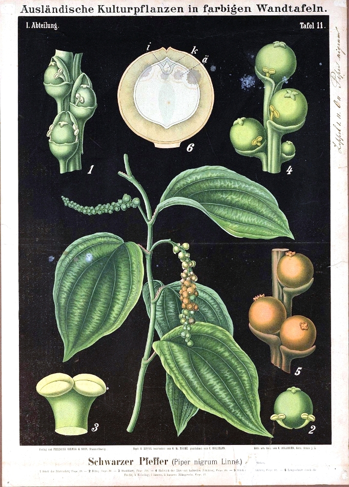Piperaceae