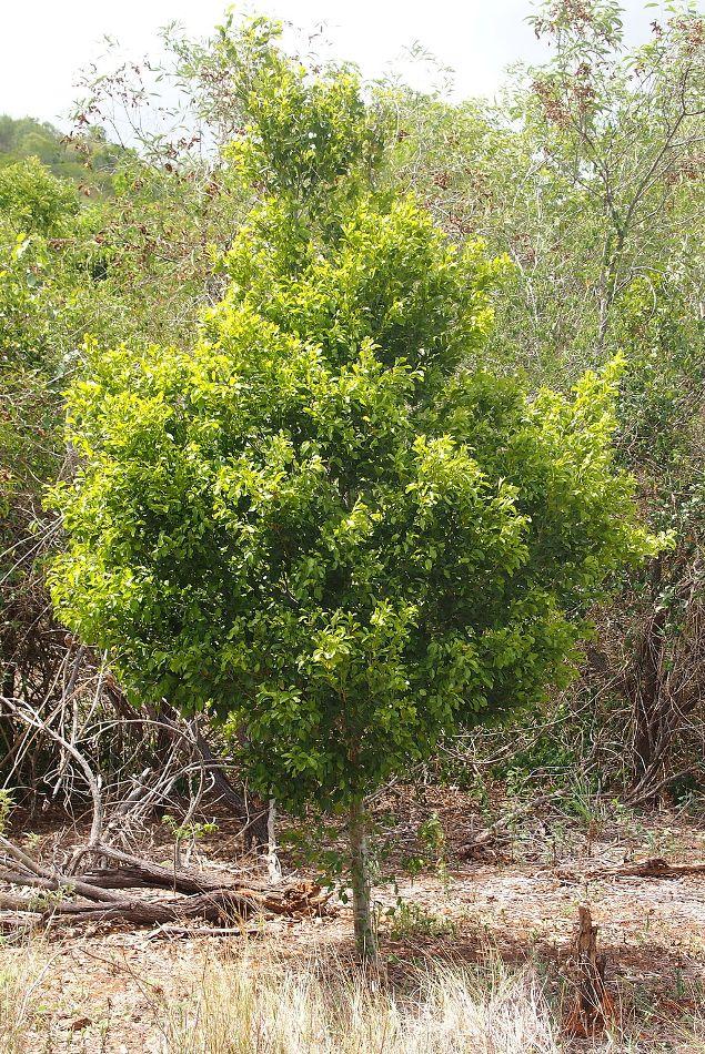 Putranjivaceae