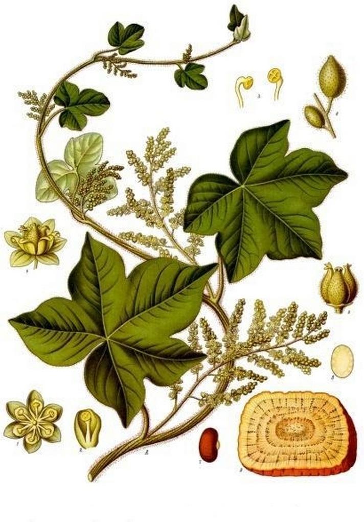 Menispermaceae