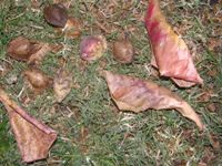 terminalia catappa fallen leaves and fruits