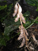 glycine max dried pods