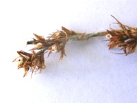 scleria sphacelata detail of spikelets