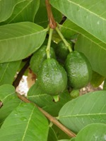 acca sellowiana fruit