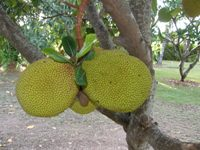 artocarpus heterophyllus mature fruits