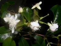 eugenia brasiliensis flower detail