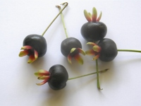 eugenia brasiliensis fruits