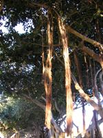ficus benghalensis aerial roots descending