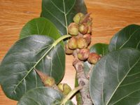 ficus benghalensis leaves and figs