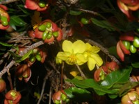 ochna serrulata flowers and fruits