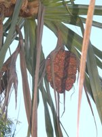 pandanus solms-laubachii female inflorescence and fruit